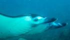 Ceningan-Divers-manta