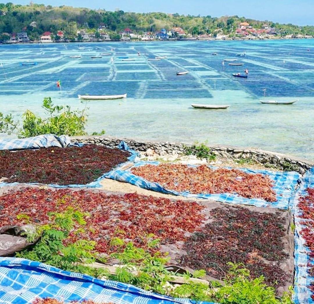 Seaweed farming, Lembongan Hotels, Lembongan Resorts, Lembongan Bungalows, Lembongan Villas, The Lembongan Traveller, Nusa Lembongan Hotels, Nusa Lembongan Resorts, Nusa Lembongan Bungalows, Nusa Lembongan Villas,