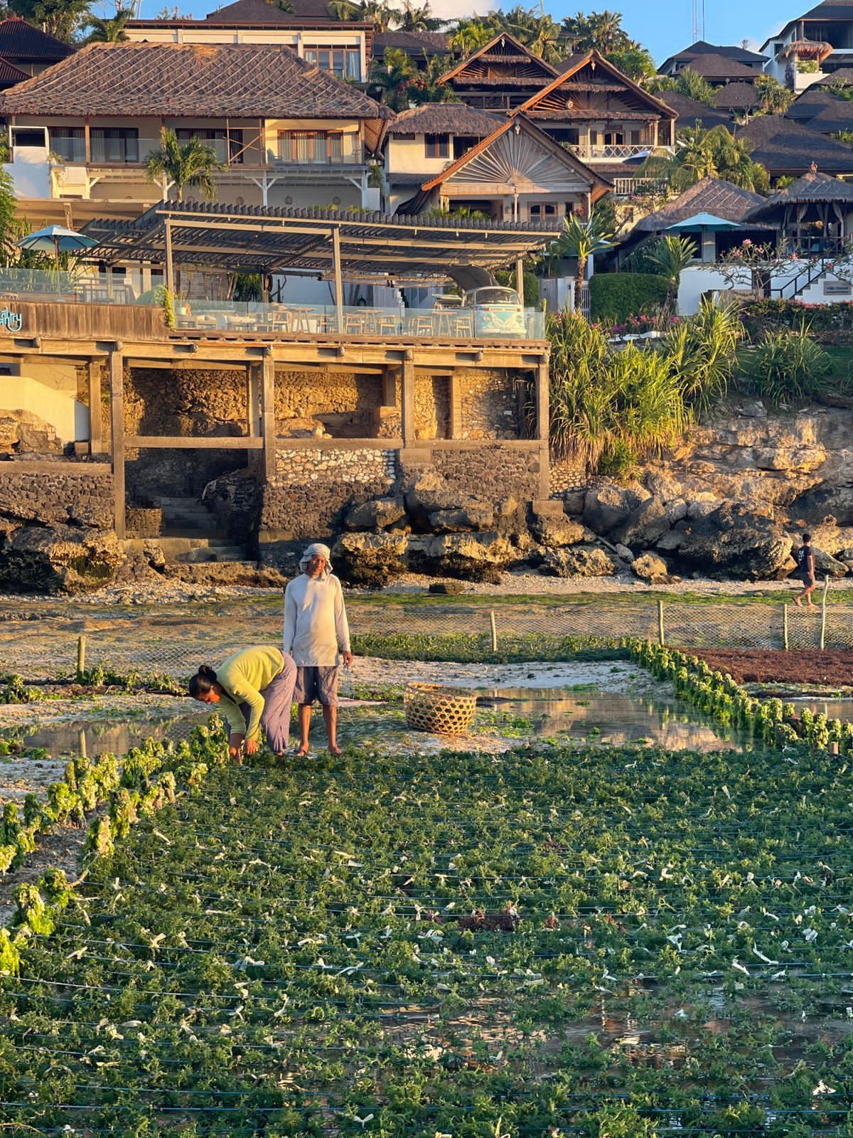 Lembongan Seaweed Farming, Lembongan Hotels, Lembongan Resorts, Lembongan Bungalows, Lembongan Villas, The Lembongan Traveller, Nusa Lembongan Hotels, Nusa Lembongan Resorts, Nusa Lembongan Bungalows, Nusa Lembongan Villas,